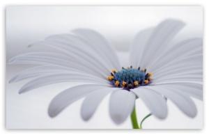 white_osteospermum_flower-t2